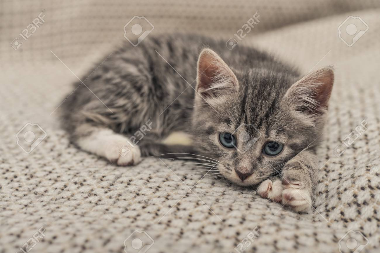 Cute Little Grey Kitten With Blue Eyes Lying On Sofa Closeup Stock Photo Picture And Royalty Free Image Image 90060102