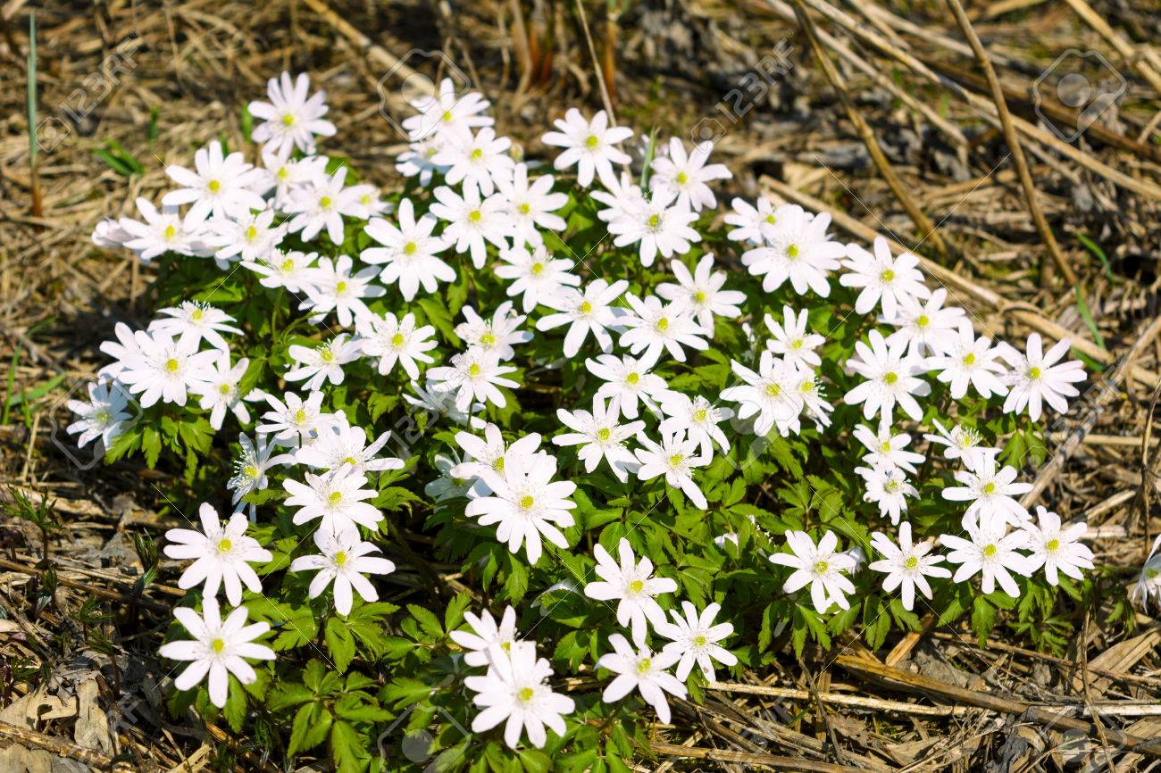 Group of blooming rue anemone flowers wild spring white flowers group of blooming rue anemone flowers wild spring white flowers stock photo 74888521 mightylinksfo