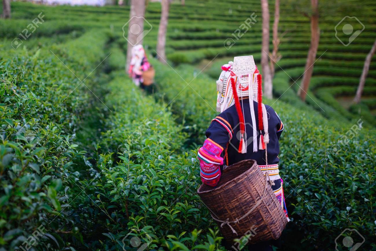 hill tribe harvester tea farmer - 24721963