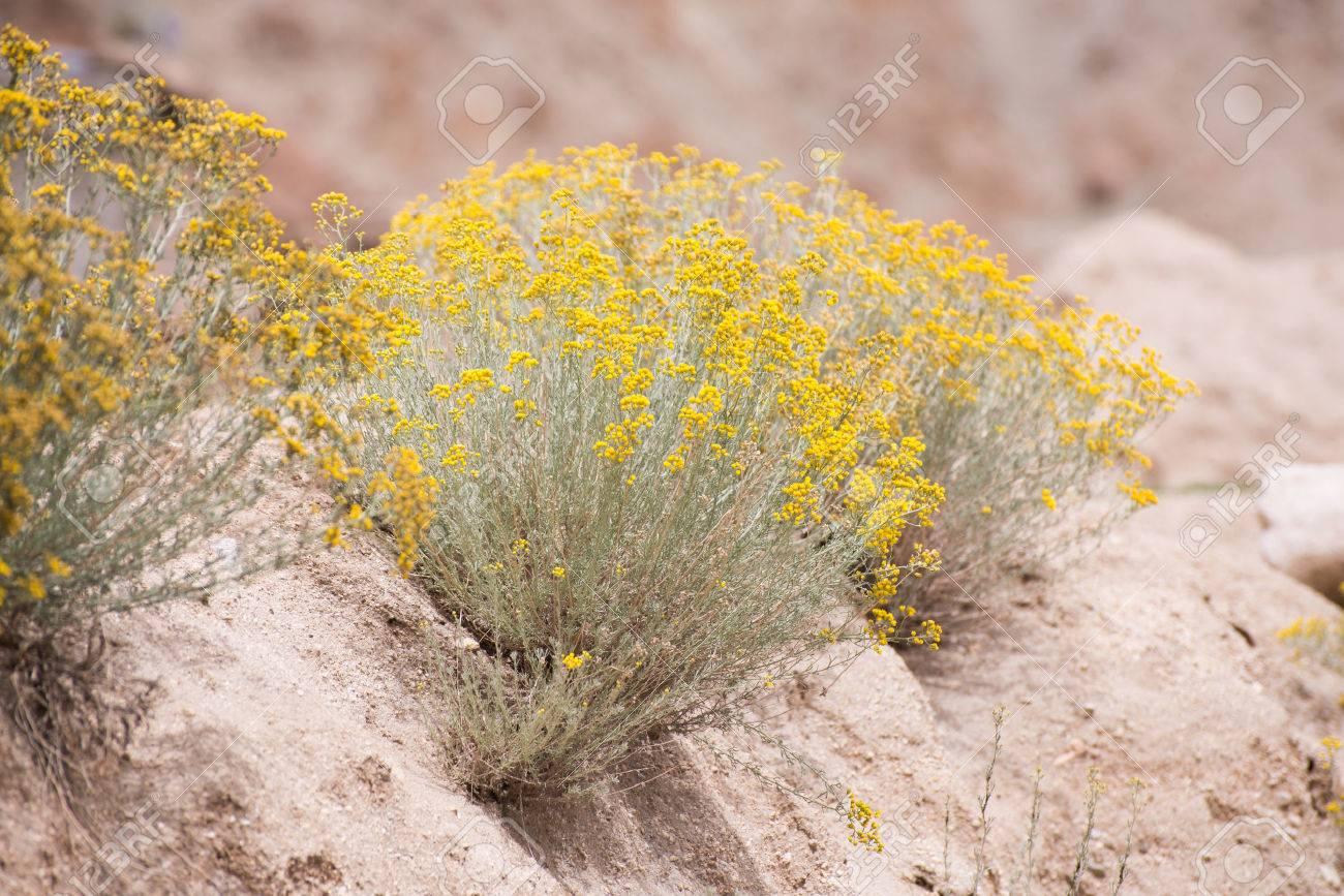 small yellow flowers in desert Stock Photo - 26041145