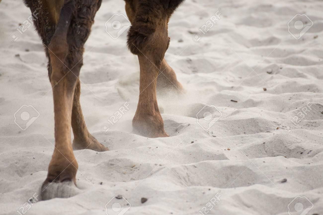 Camel's leg and foot walking on desert - 26520300