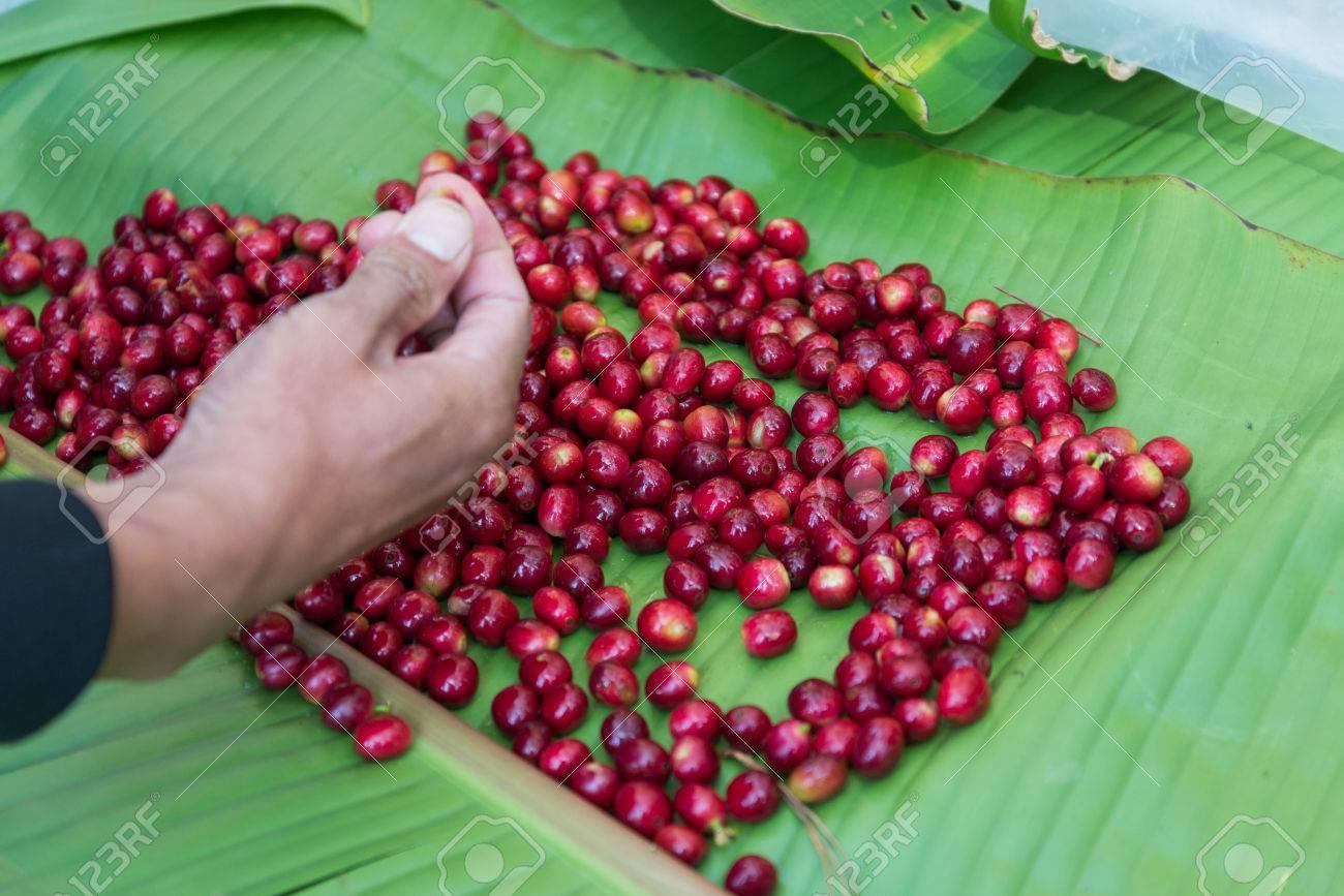 hand pick selecting coffee cherry bean - 36160633