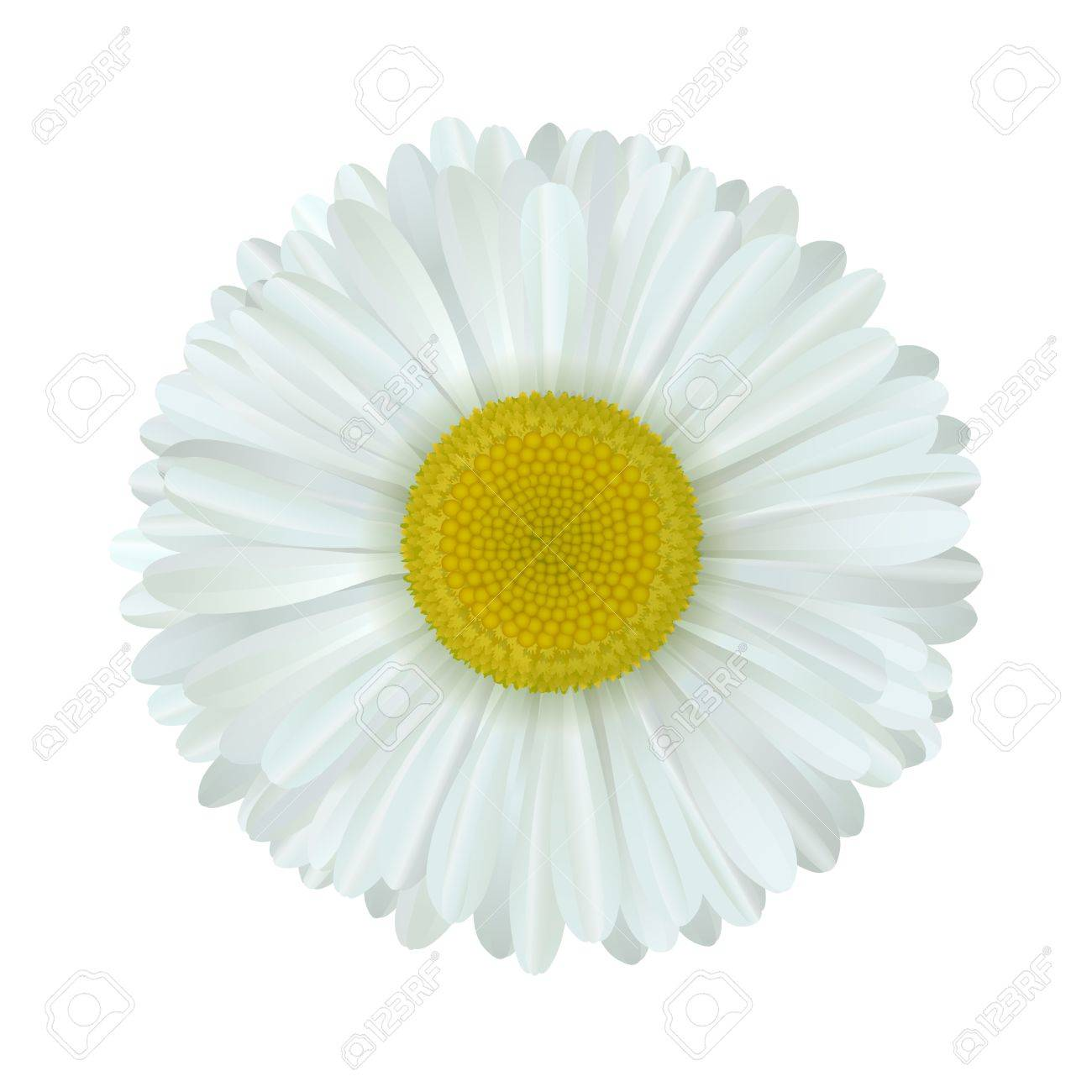 Vector camomile flower isolated on white background royalty free vector vector camomile flower isolated on white background mightylinksfo