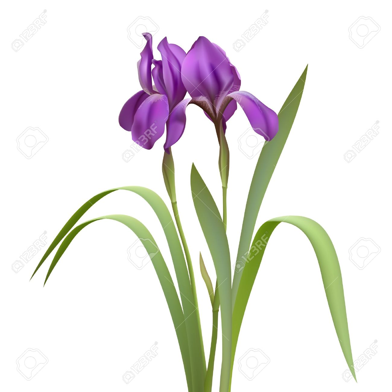 5455 iris flower stock illustrations cliparts and royalty free purple iris flowers isolated on white background vector illustration pronofoot35fo Image collections