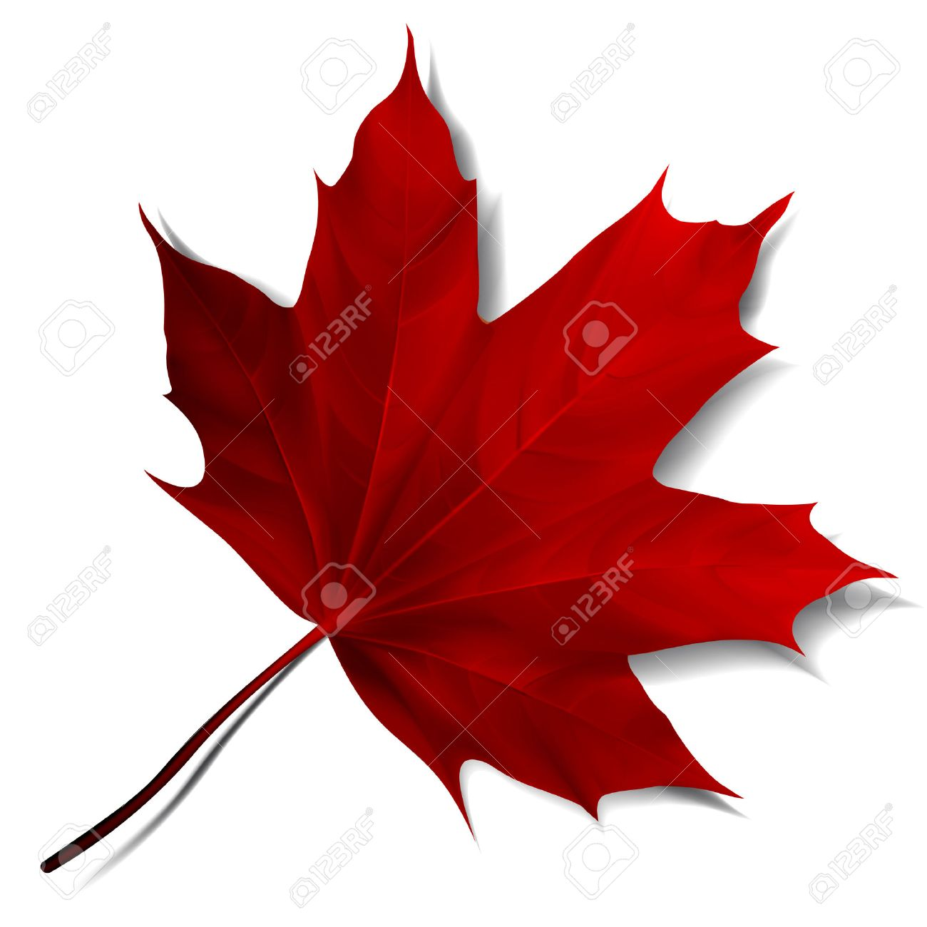Realistic red maple leaf isolated on white background. - 46395717
