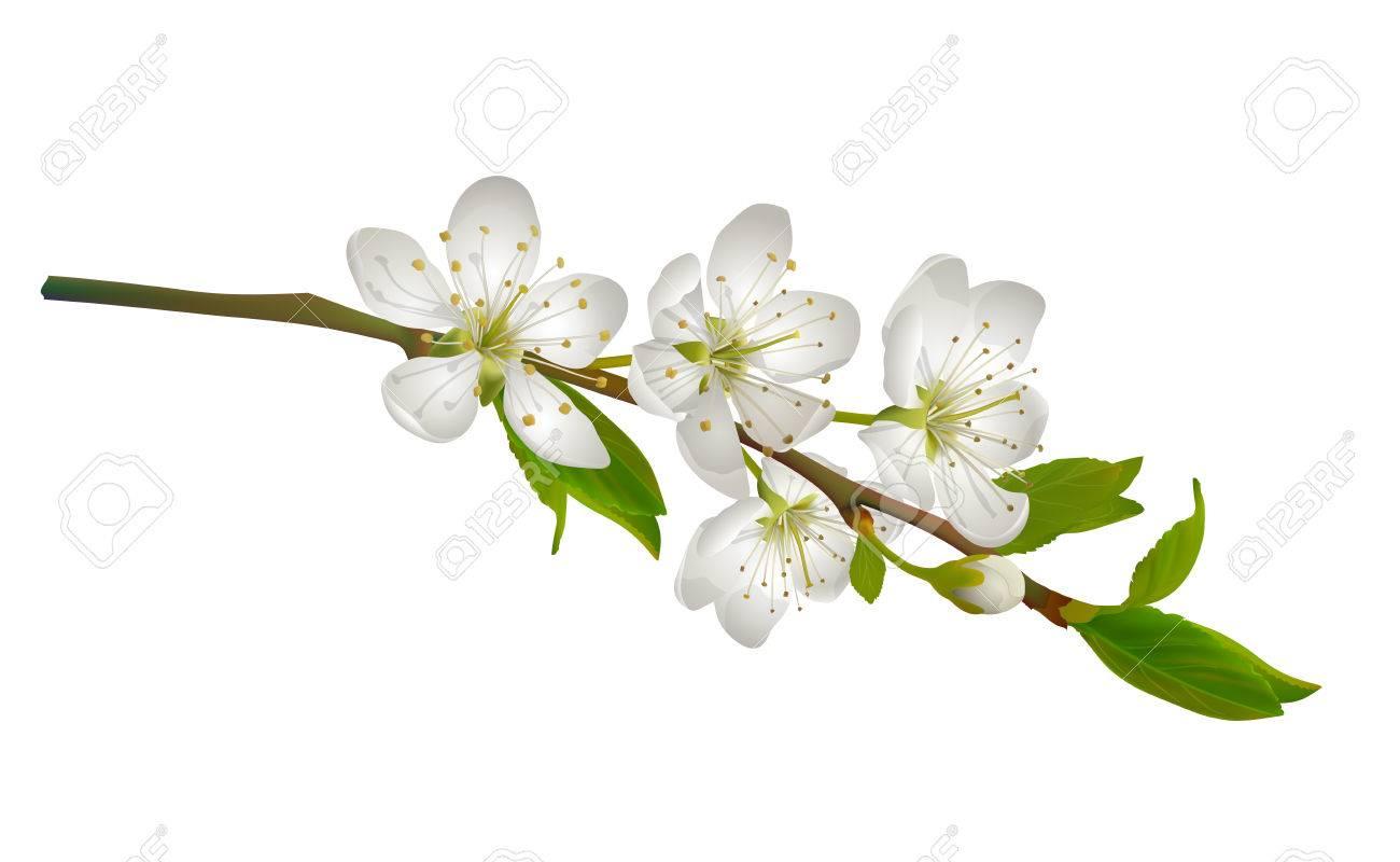 白い花を開花桜支店リアルなイラストのイラスト素材ベクタ Image