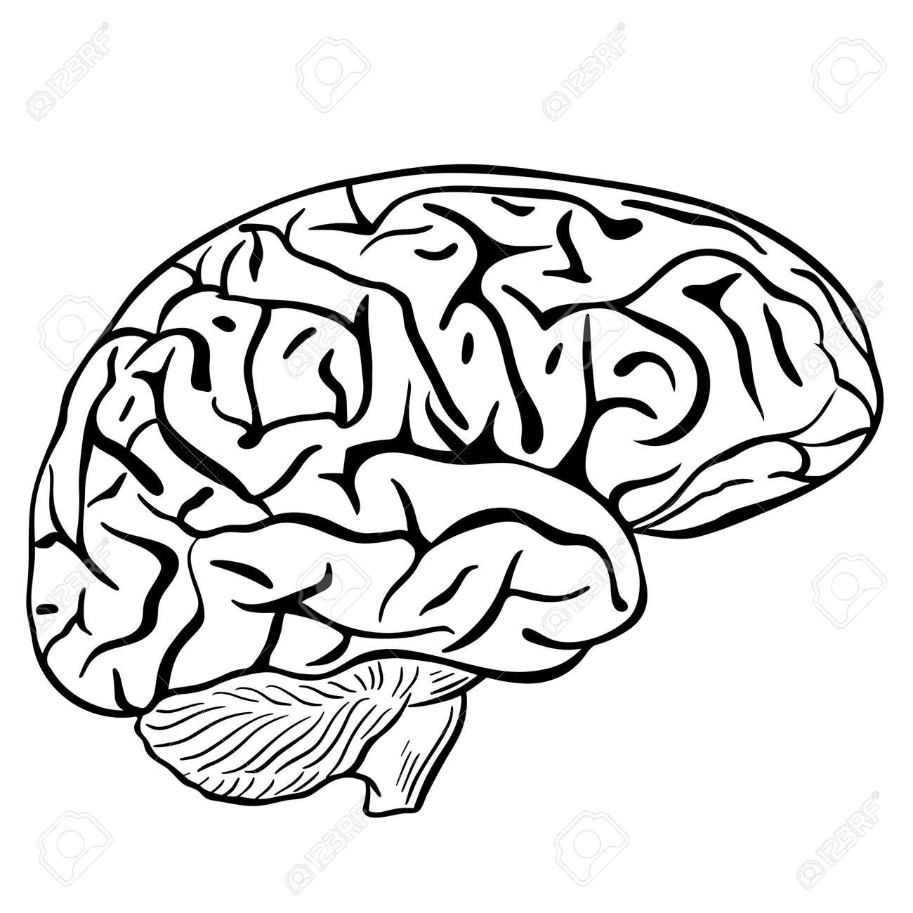 Human brain, sketch. Vector, black contour of the human brain on a white background. The main organ of thinking. Brain silhouette. - 167782148