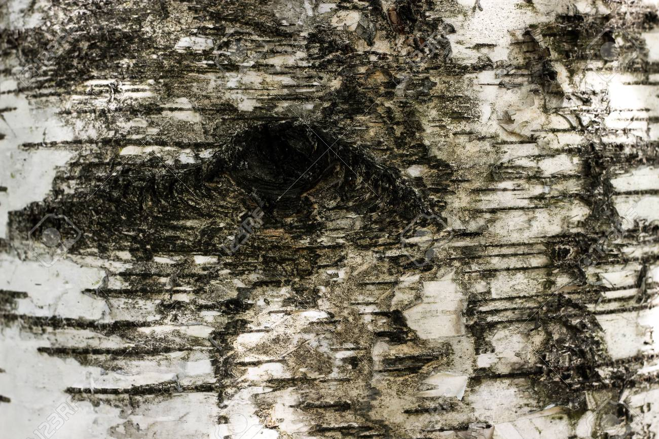 Black And White Birch Bark Texture With Eye Hole Closeup Lined Tree