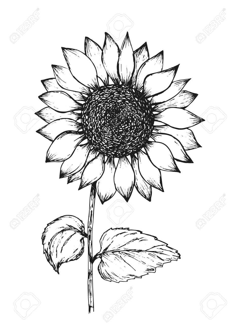 Retro black outline ink pen sketch of sunflower. Hand drawn illustration..
