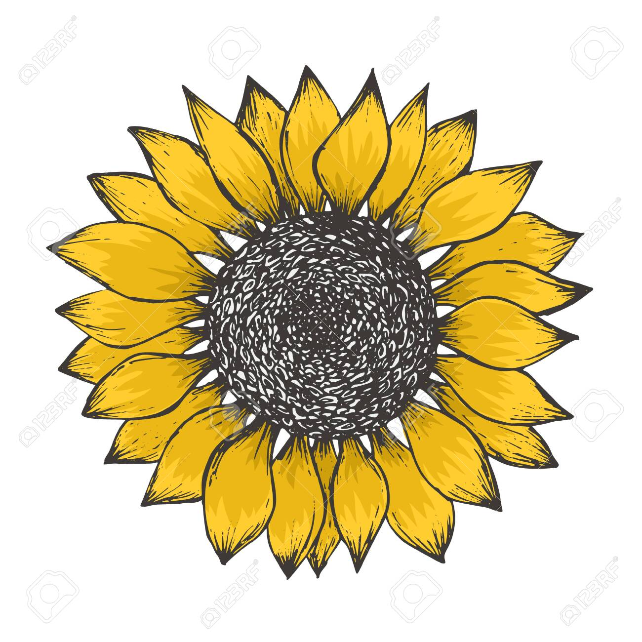 Bright sketch of colorful yellow sunflower blossom with black seeds. Hand drawn color illustration of sun flower isolated on white background for botanical pattern design, greeting card decoration - 121465268