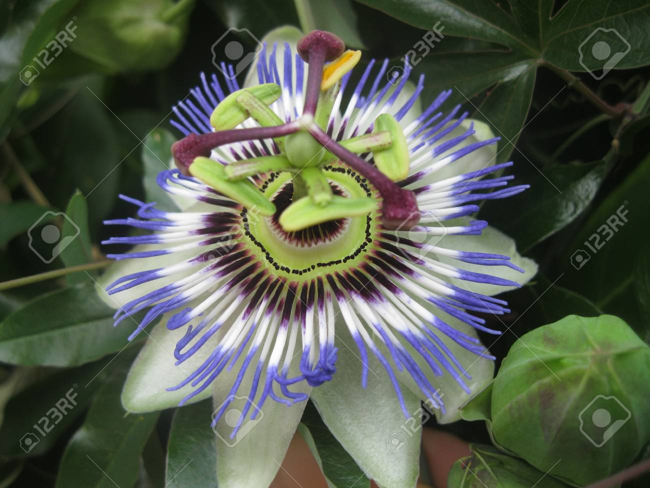Blue Passion Flower Passiflora Caerulea From Front Stock Photo