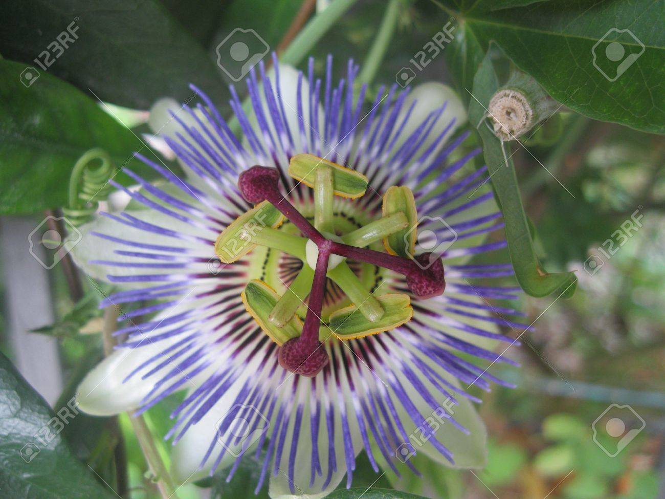 Blue Passion Flower Passiflora Caerulea From Above Stock Photo