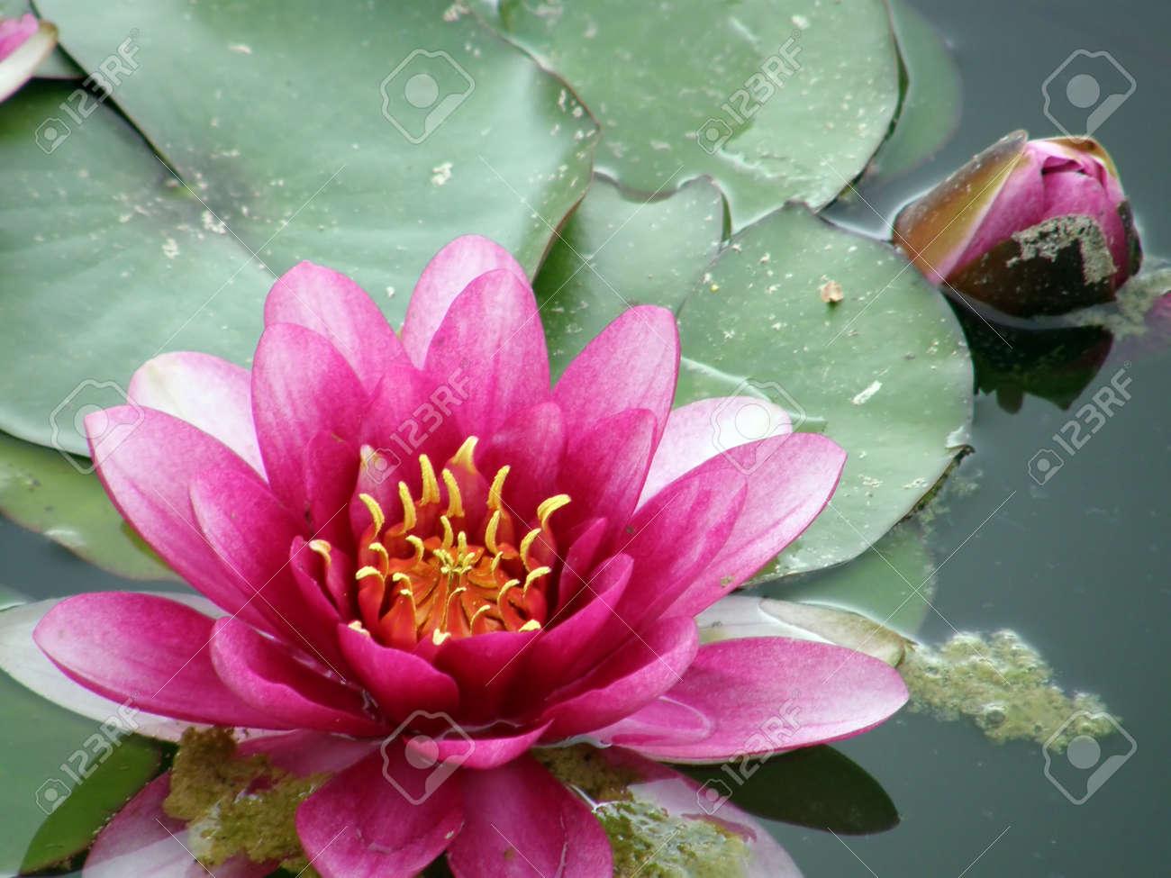 Beautiful water lily Stock Photo - 1537194