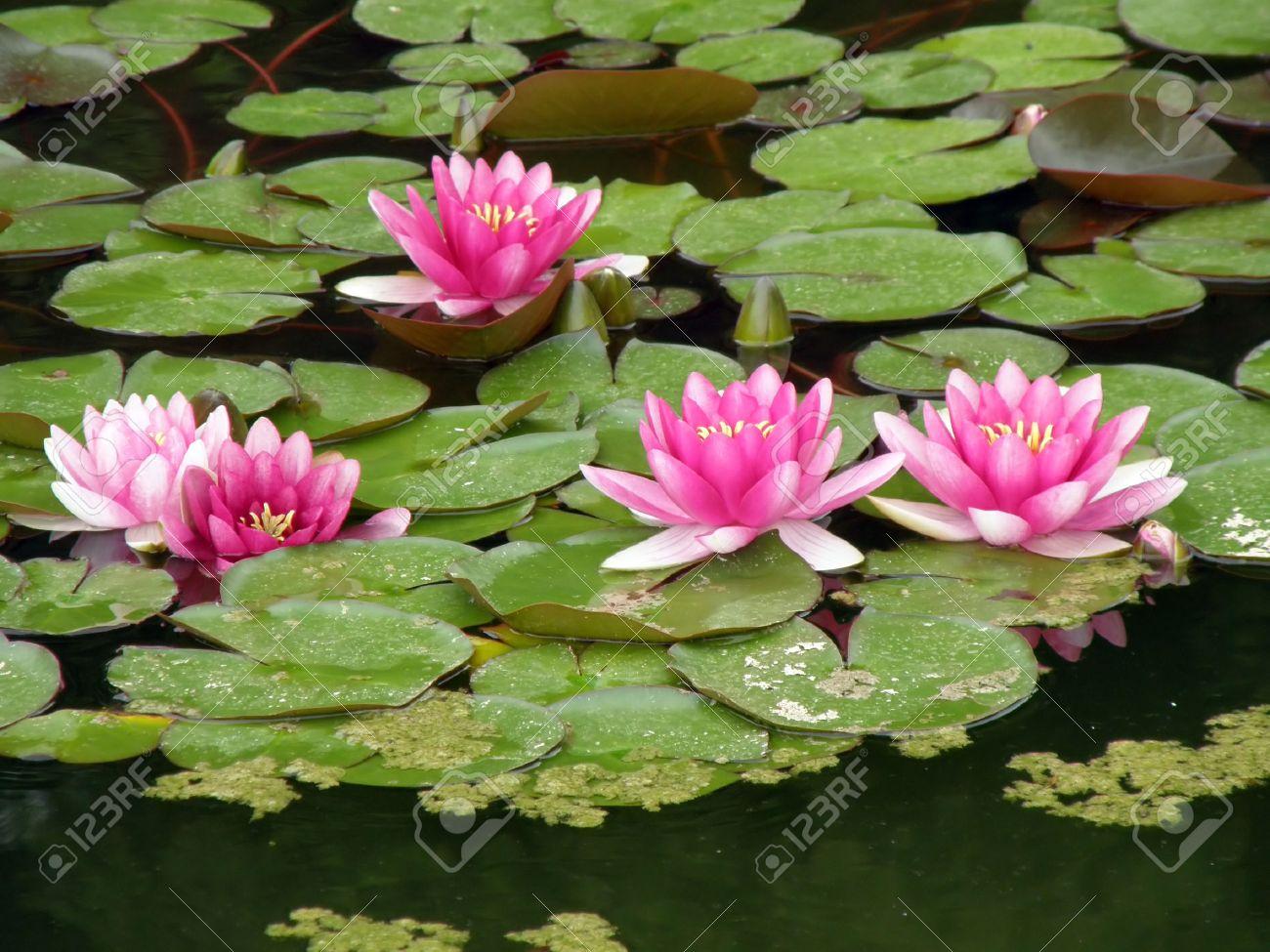 Beautiful water lily Stock Photo - 1600783