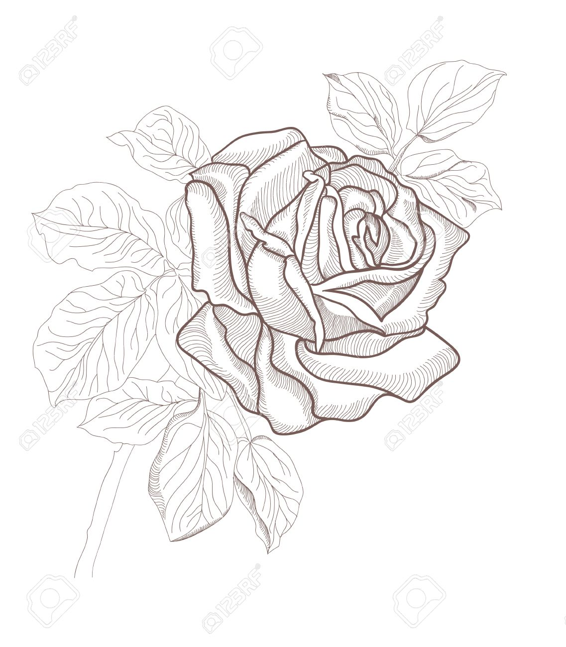 Hand Drawing Beautiful Rose Card Isolated On White Background