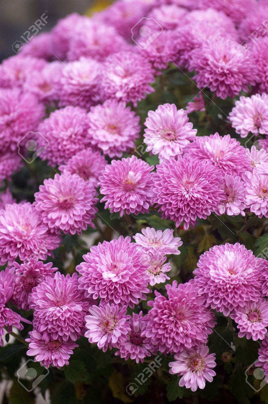 Flowering Bush Purple Chrysanthemums Stock Photo Picture And