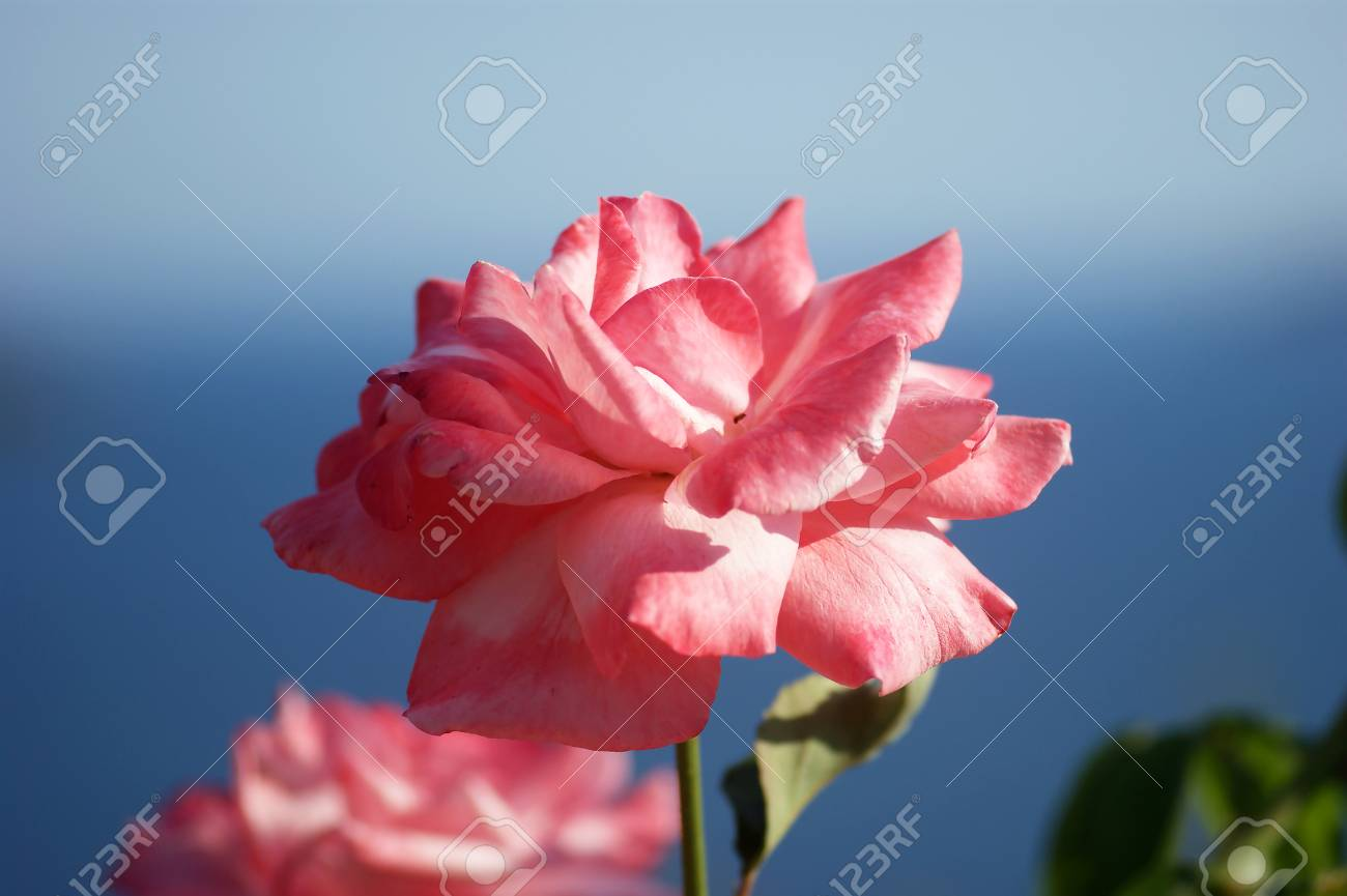 Pale Pink Rose Stock Photo Picture And Royalty Free Image Image