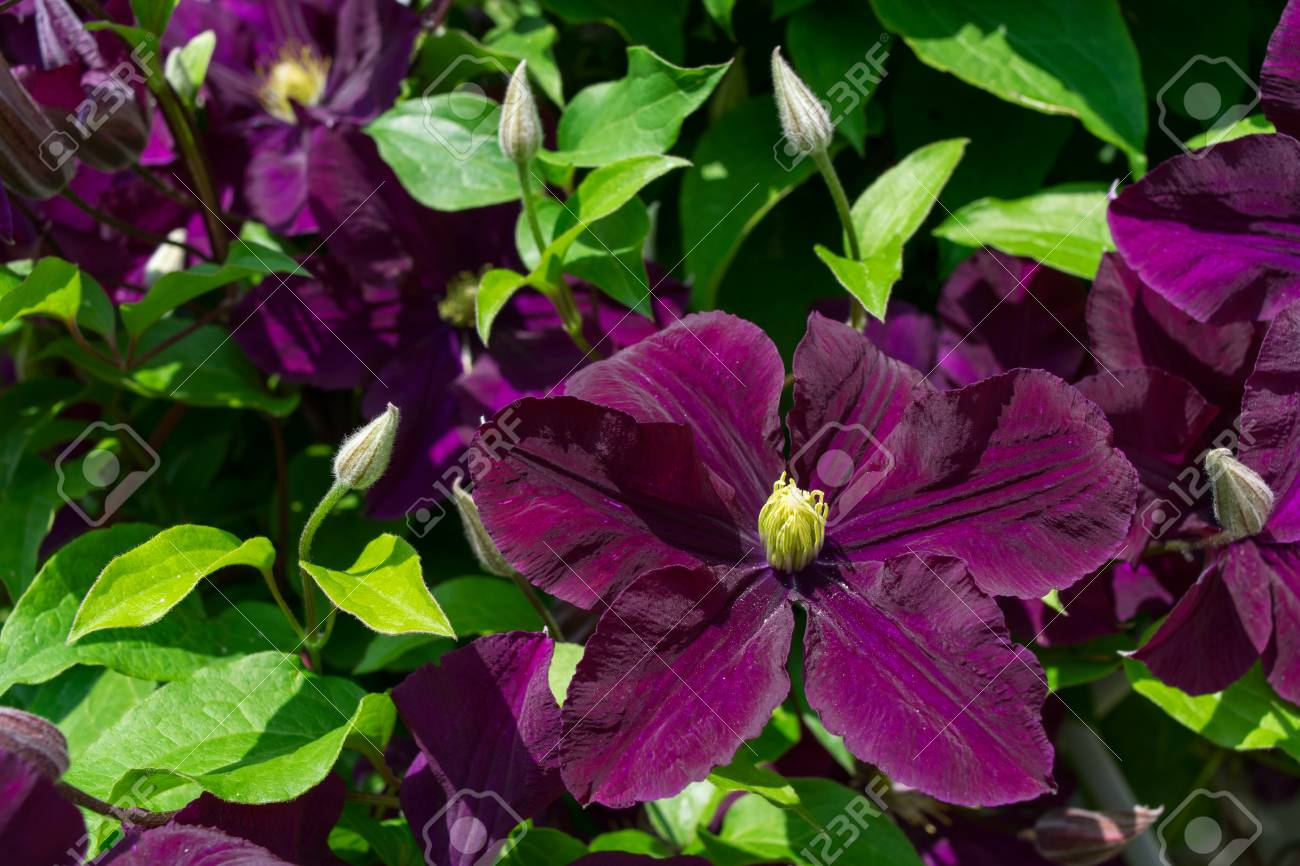 One large purple clematis flowers and buds close up spring stock one large purple clematis flowers and buds close up spring background stock mightylinksfo