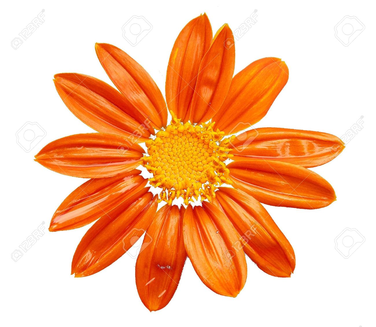 Orange Flower In White Background Stock Photo Picture And Royalty