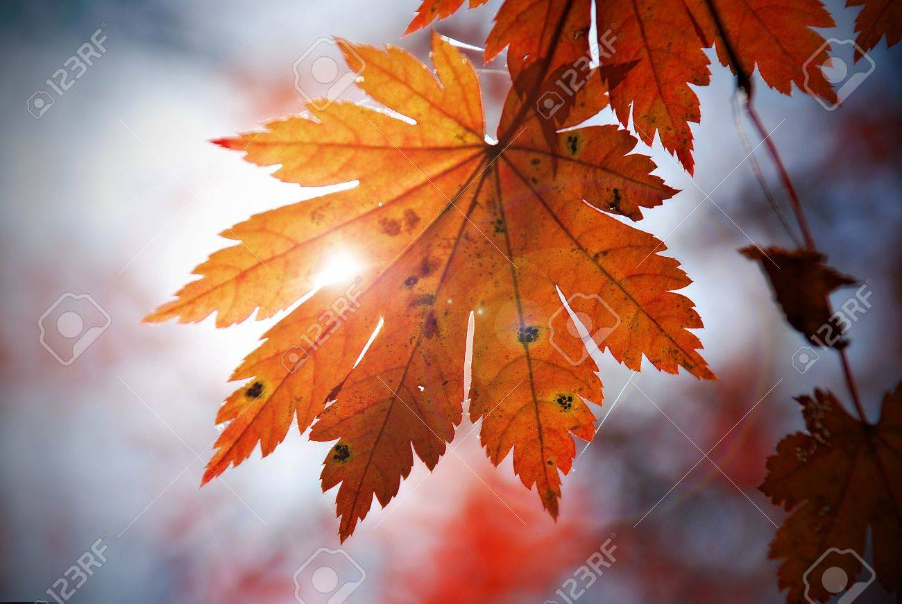 Autumnal leaf of maple and sunlight Stock Photo - 3293629