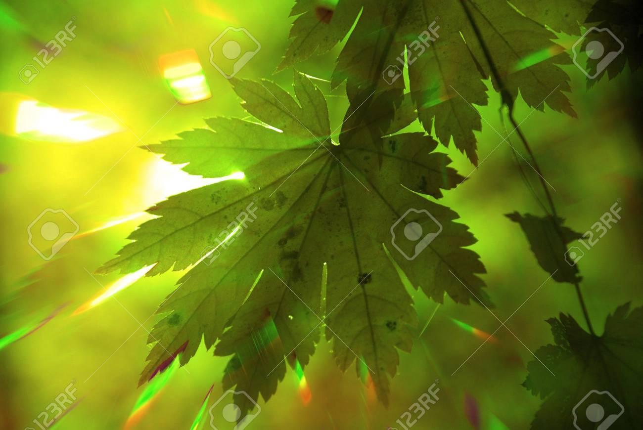 Rainbow rays, green maple leaf Stock Photo - 4303305