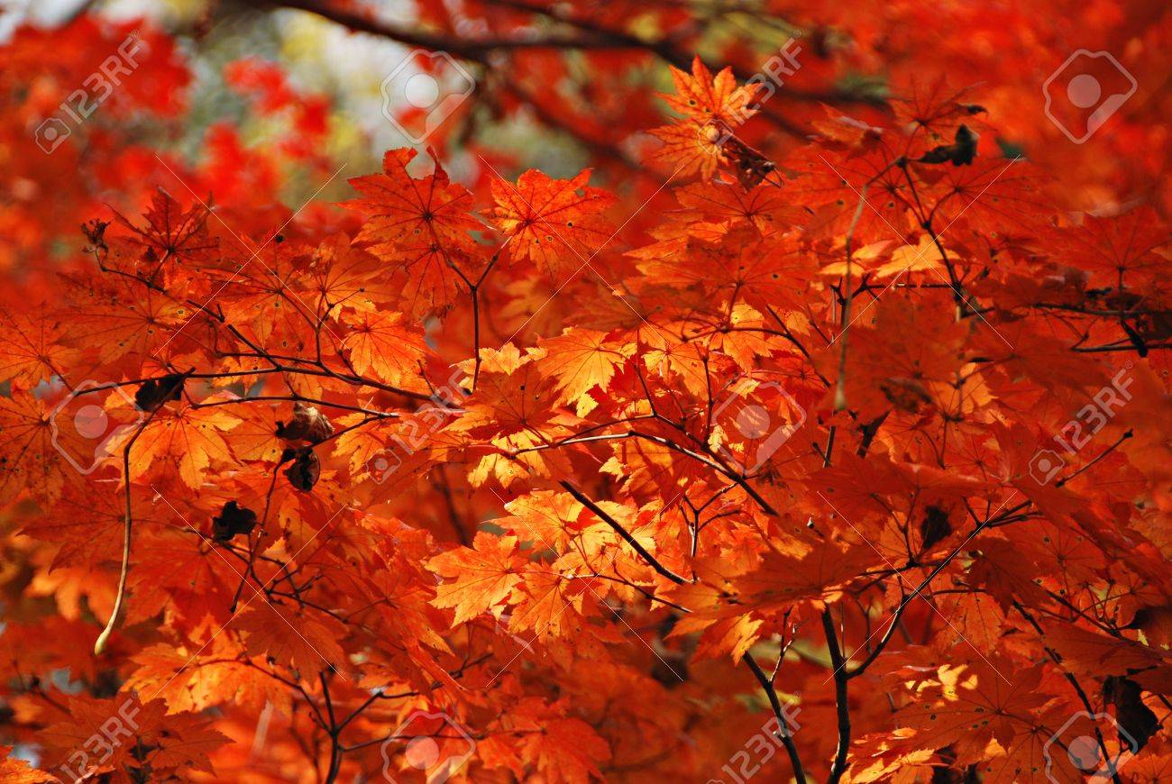 Autumn, red maple Stock Photo - 4951339