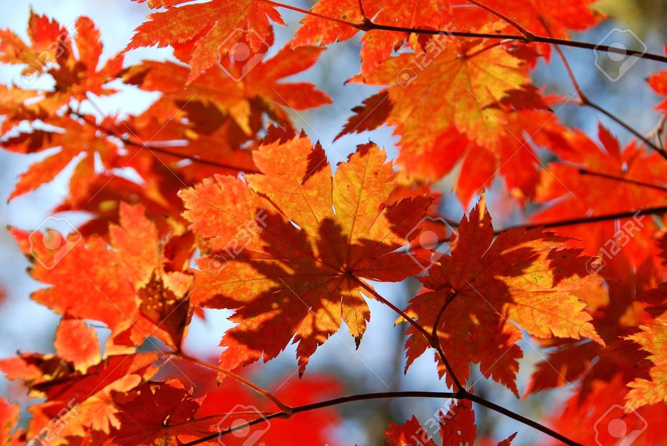 Red maple, autumn Stock Photo - 5071044