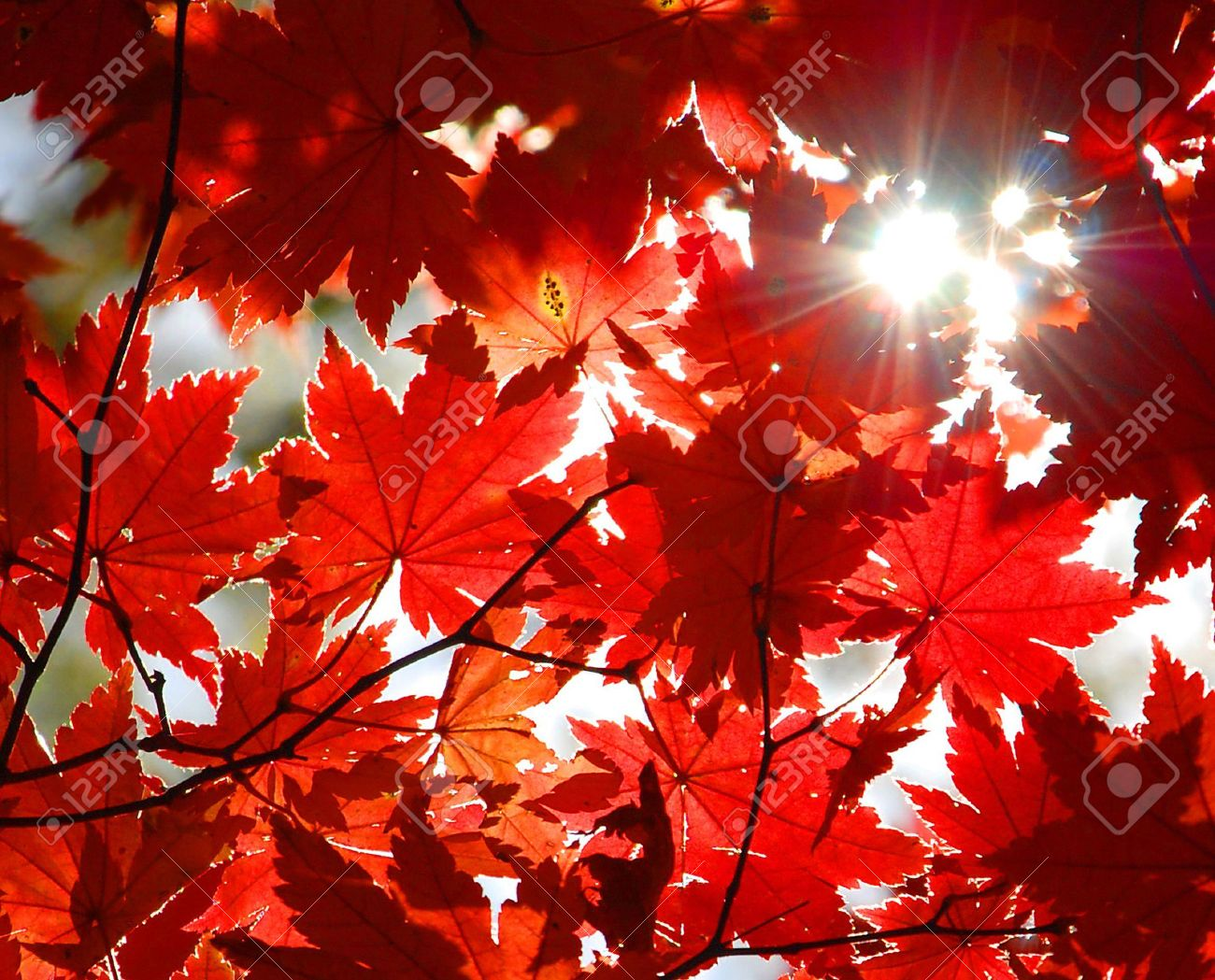 Autumnal ornament, red leaves of maple Stock Photo - 5174947