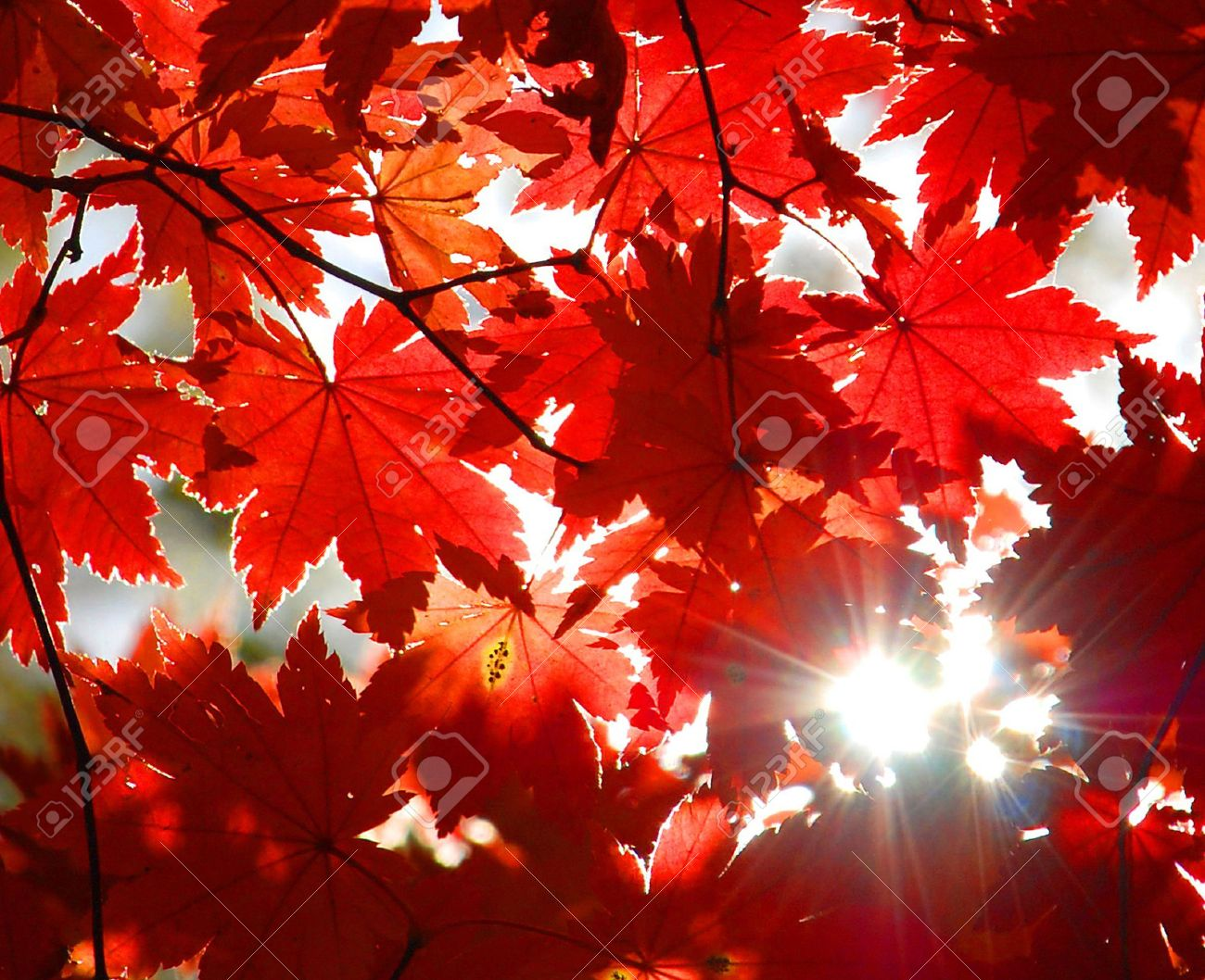Autumnal ornament, red leaves of maple Stock Photo - 7818400