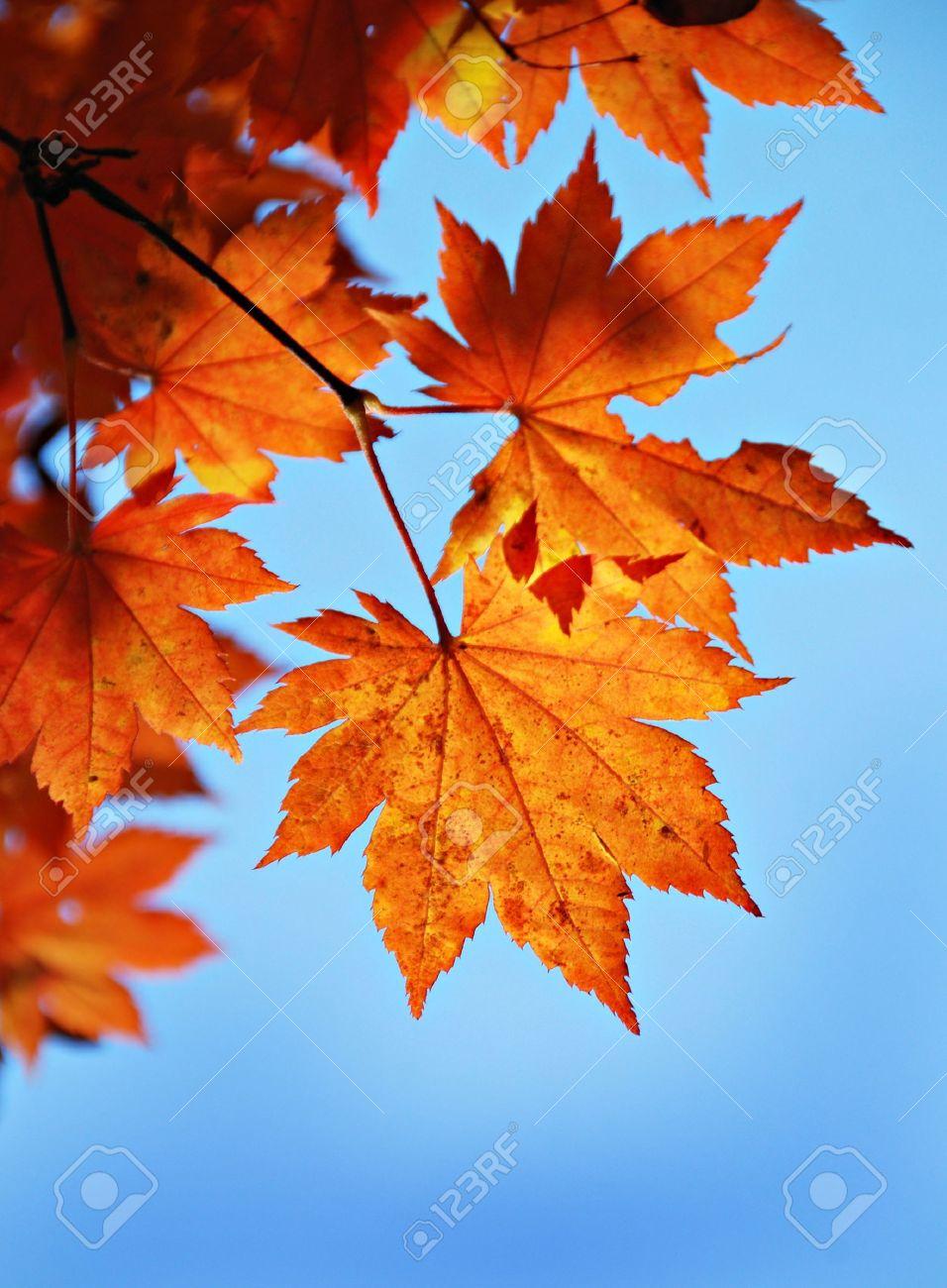 Maple foliage against sky, autumn Stock Photo - 7818397