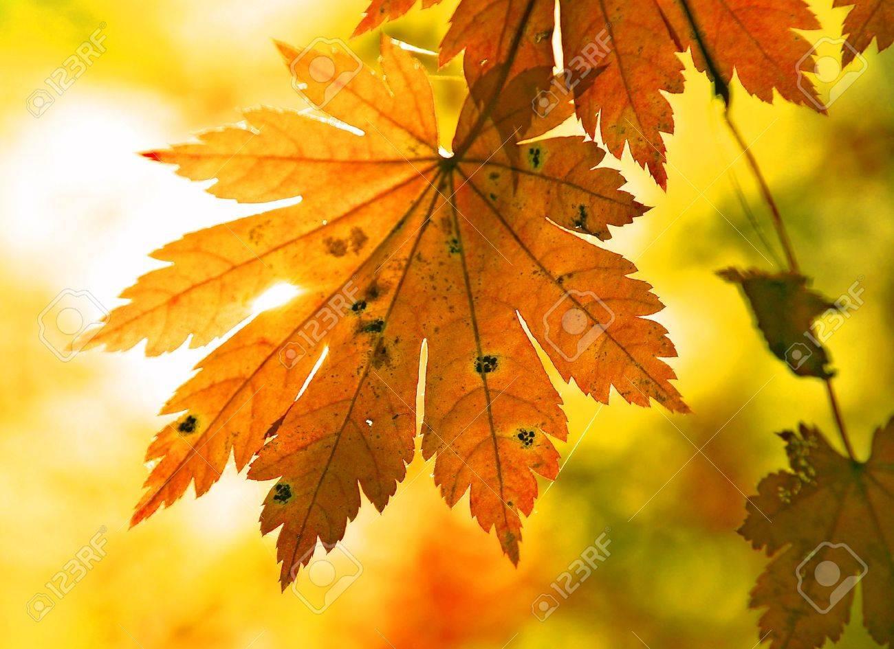 Autumnal maple leaf and sunbeam Stock Photo - 7818398