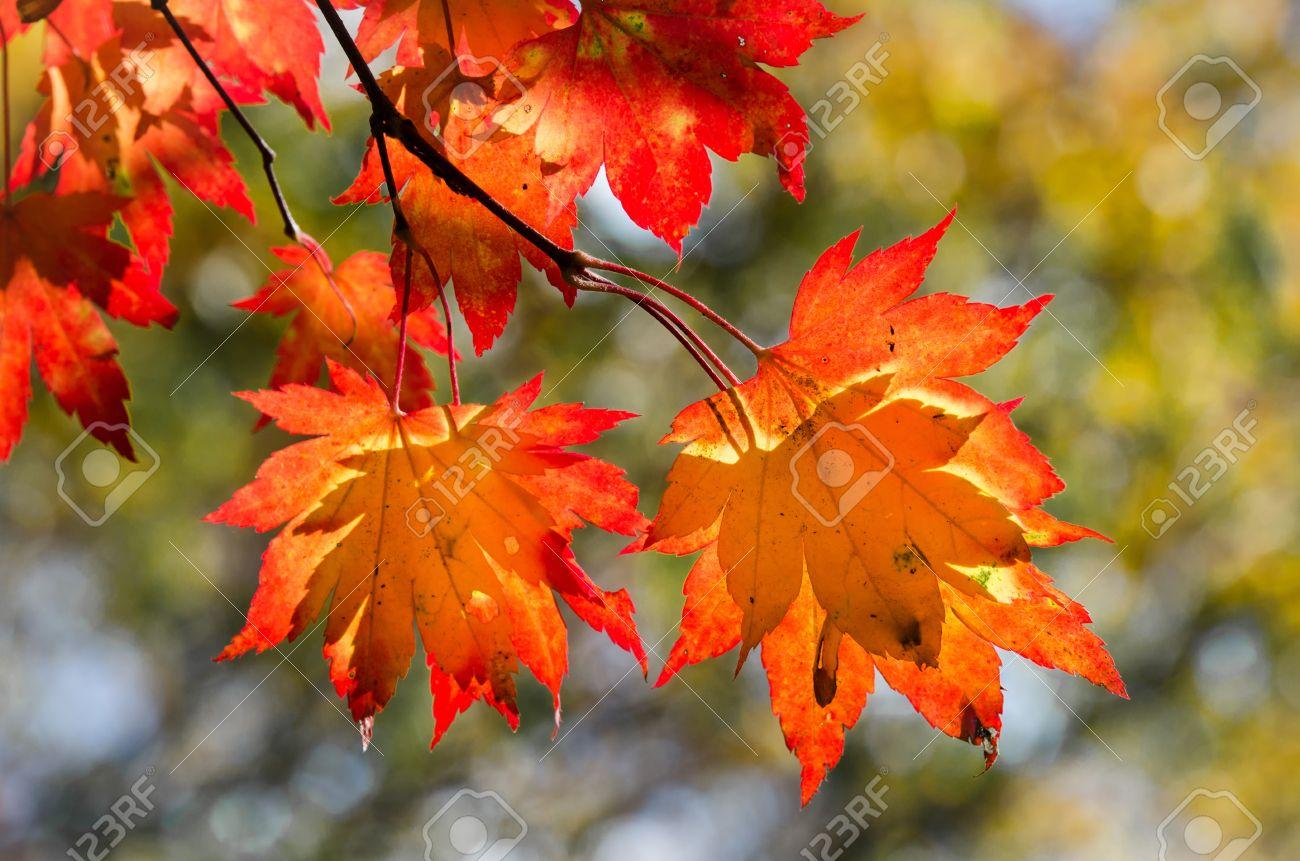 Herbstliche Blätter, rot und gelb Ahorn Laub gegen grünen Wald