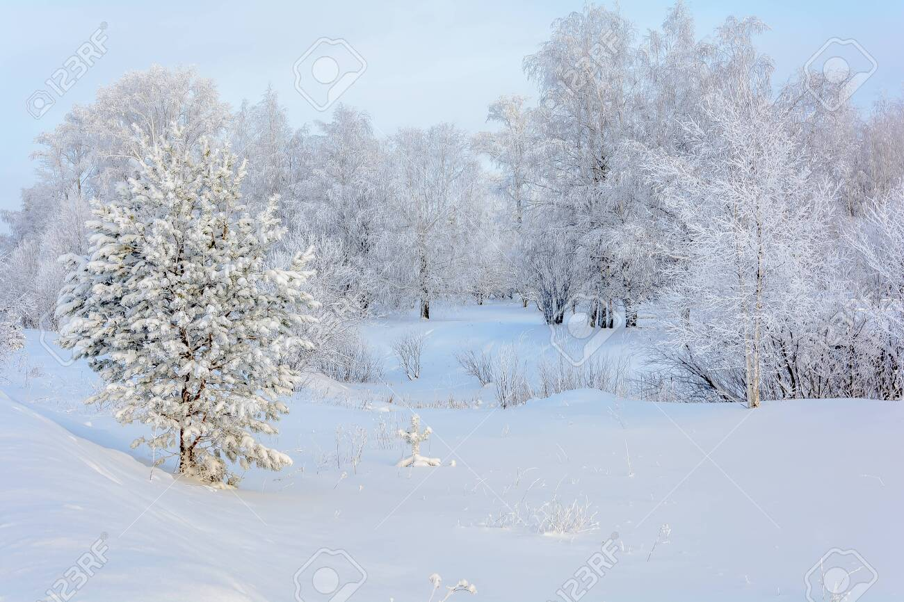 Single snow-covered trees standing in a winter field - 136829041