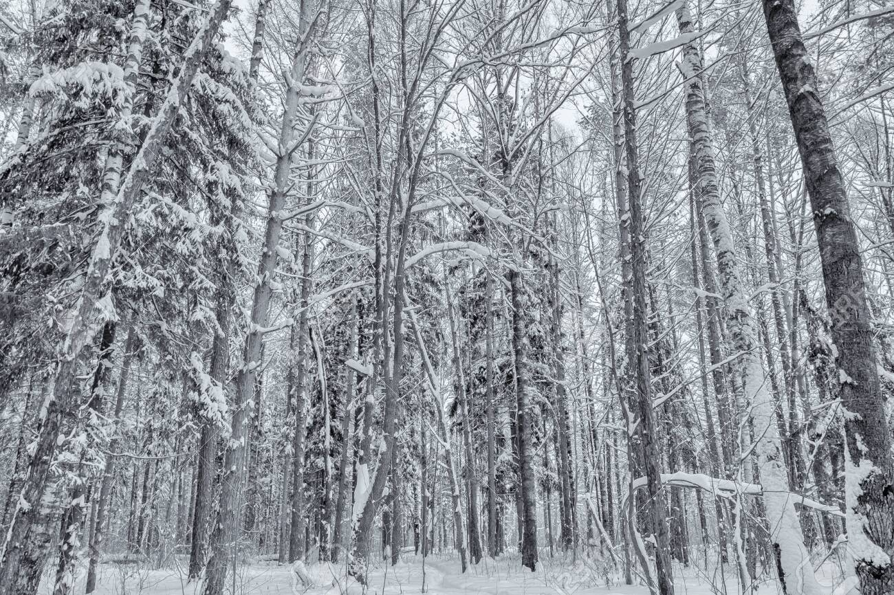 Trees in the forest, covered with cold white snow - 139175860