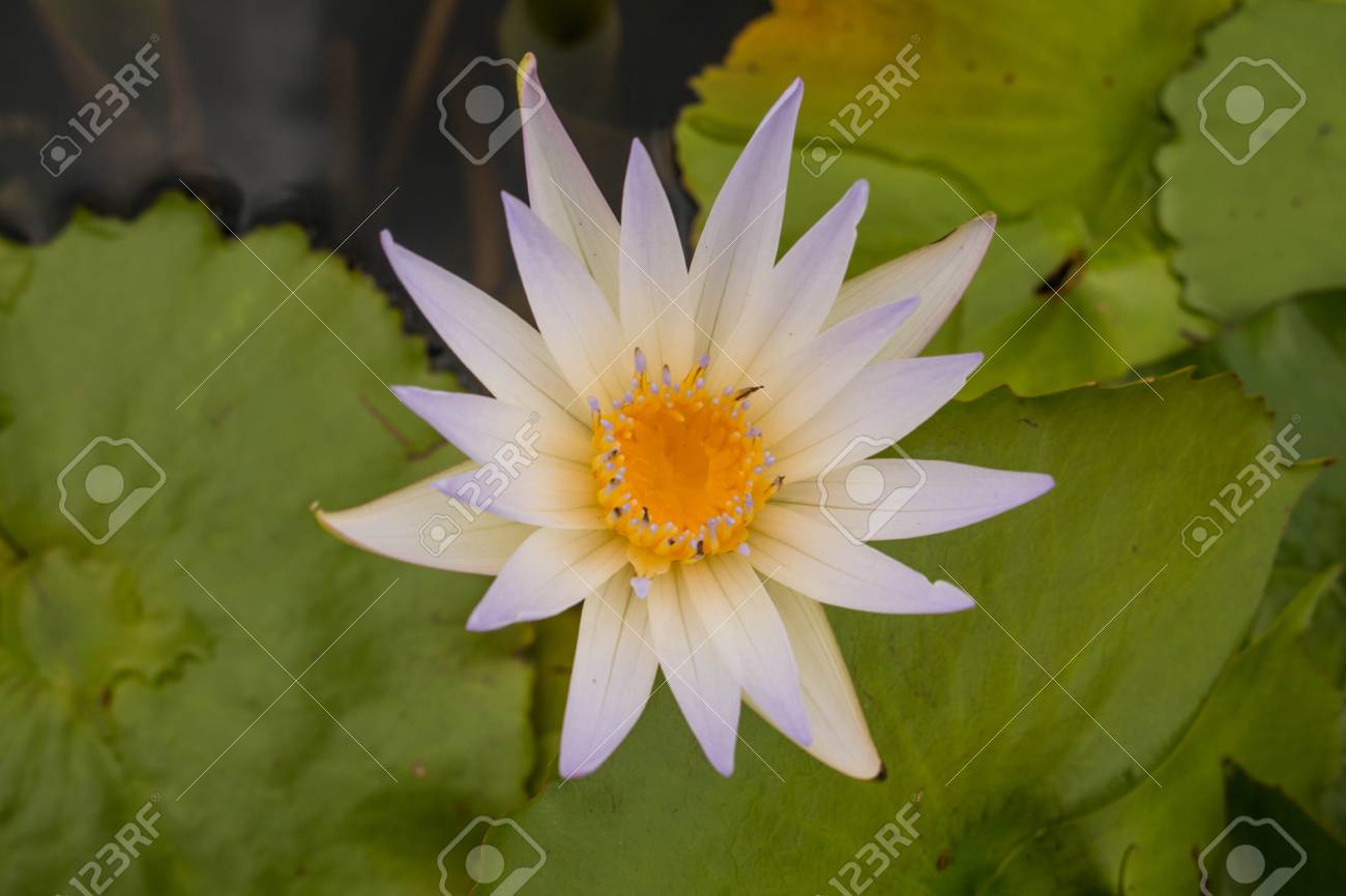 Beautiful lotus flower is the symbol of the buddha stock photo beautiful lotus flower is the symbol of the buddha stock photo 85251009 izmirmasajfo