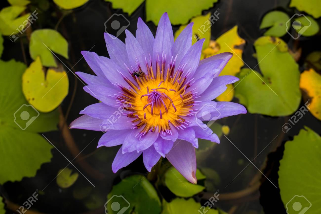 Beautiful Lotus Flower Is The Symbol Of The Buddha Stock Photo