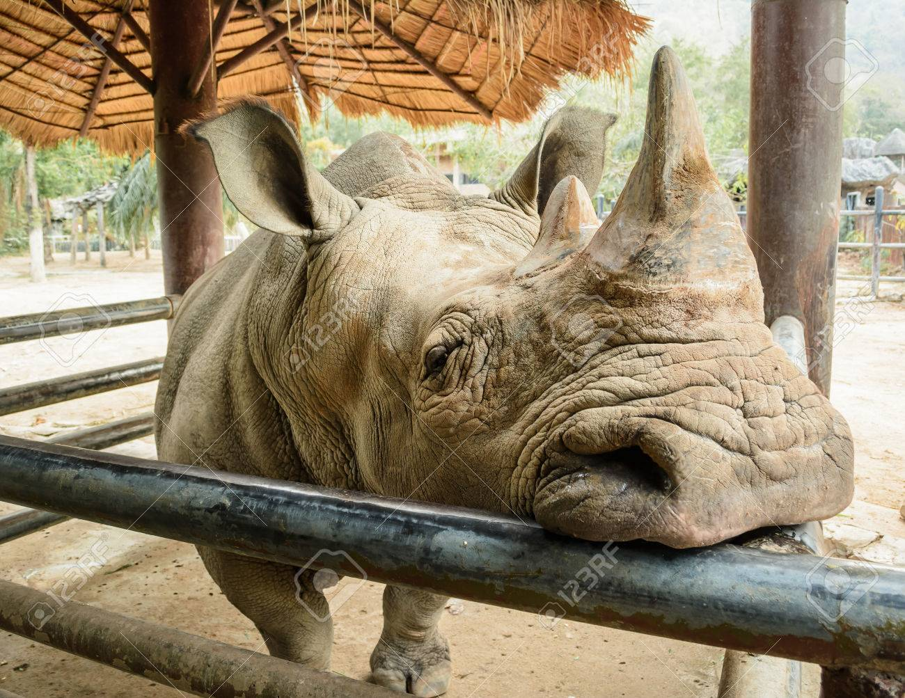 Rhino Is Resentful But Hidden Animals Stock Photo Picture And