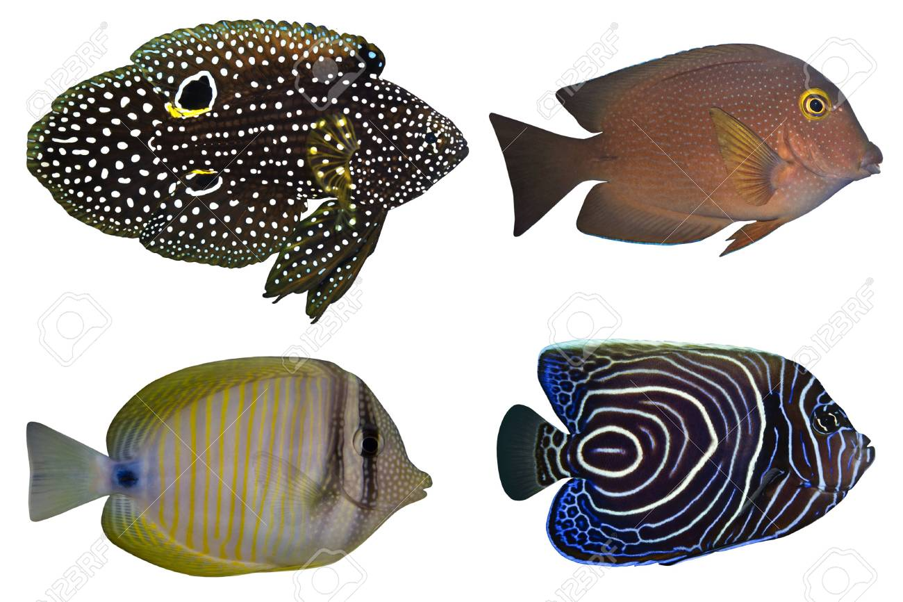 Four Tropical Fishes isolated on white Stock Photo - 2069266
