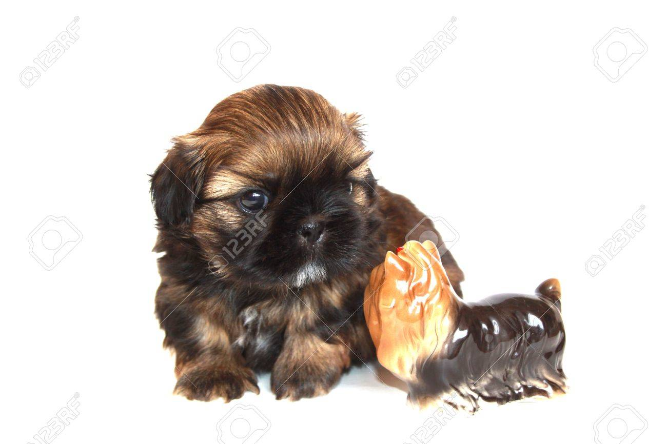 Puppy Of A Shih Tzu And Figurine Of A Yorkshire Terrier Background Stock Photo Picture And Royalty Free Image Image 17014934