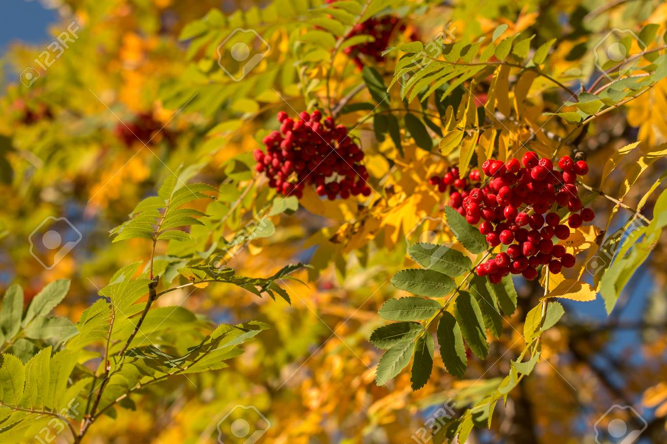Autumn Rowan Tree With Red Berries And Colorful Leaves Stock