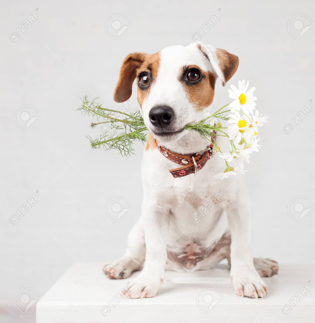 Dog With A Bouquet Of Flowers In A Teeth. Puppy With Flowers Stock ...
