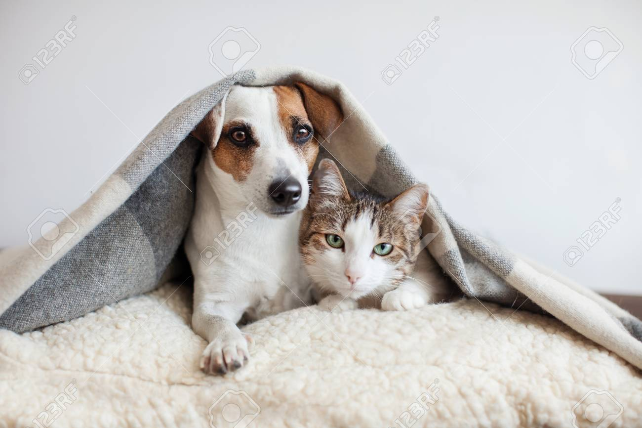 Dog and cat together. Dog hugs a cat under the rug at home. Friendship of pets - 97550370
