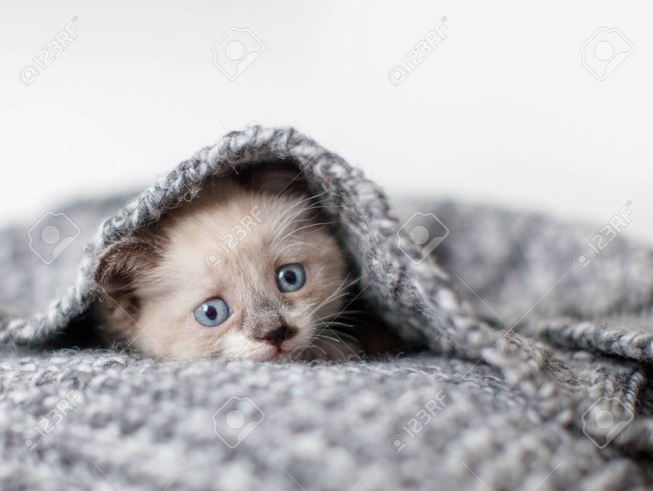 Kitten on a white knitted blanket. Little cut cat at home - 128966578