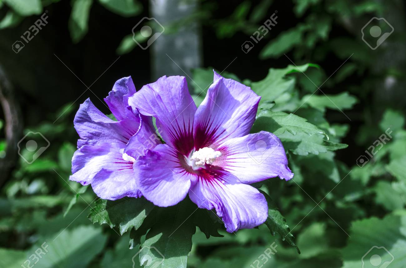 Large Purple Flowers On The Bush Hibiscus On The Patio Stock Photo
