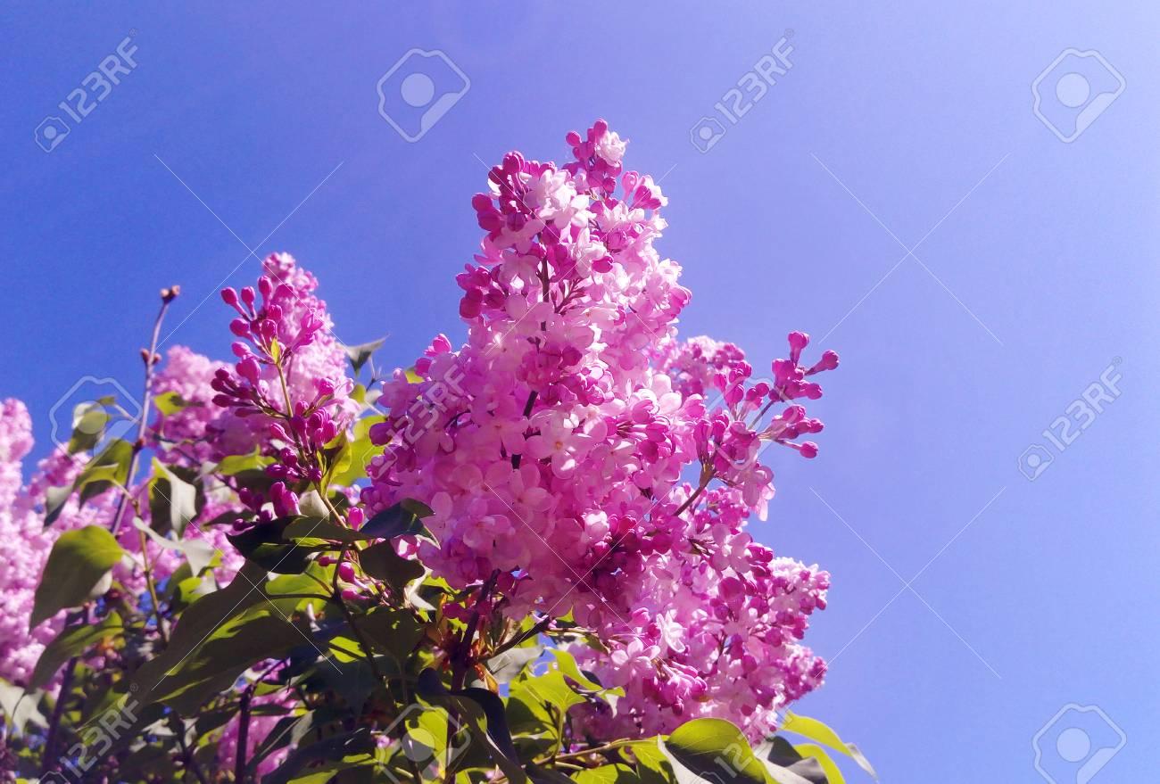 Purple Lilac (Syringa vulgaris) flowers Blossoms under blue sky in the botanical garden. Seasonal spring, summer background for wallpaper. - 101341725
