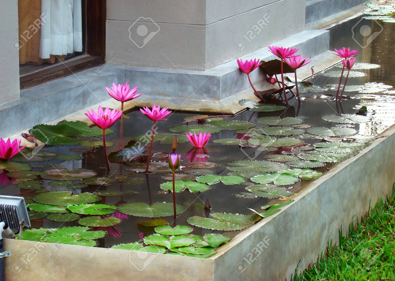 Landscaping design, beautification refine and planting of a yard plot near house - lotus flowers buds grow and blooming in Decorative pond. - 101922427