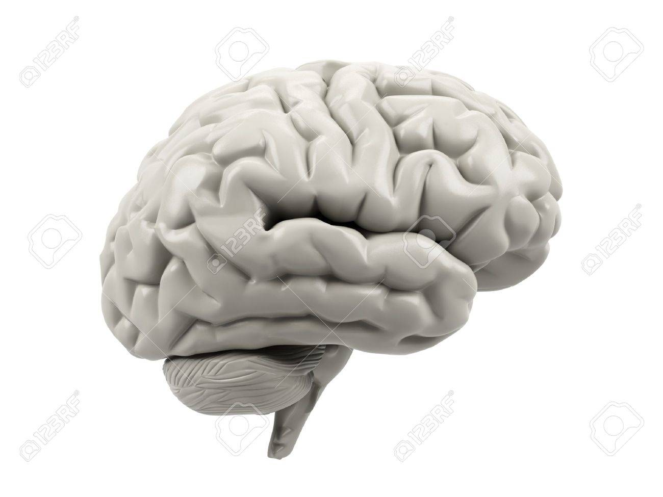 Human brain on a white background. Stock Photo - 15536490