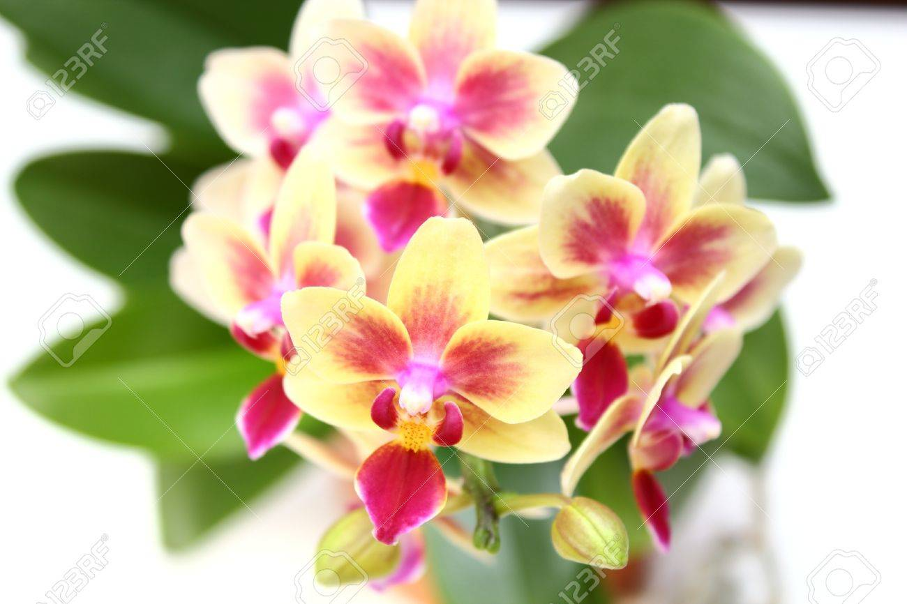 Yellow And Pink Orchid Cymbidium- pink and yellow