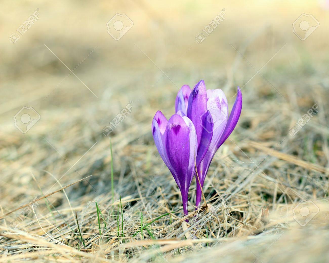 Crocus Sativus Violette Printemps Fleur Sauvage Qui Pousse De L