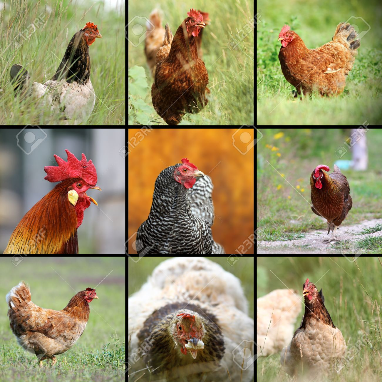 images of farm birds hens and roosters on lawn stock photo